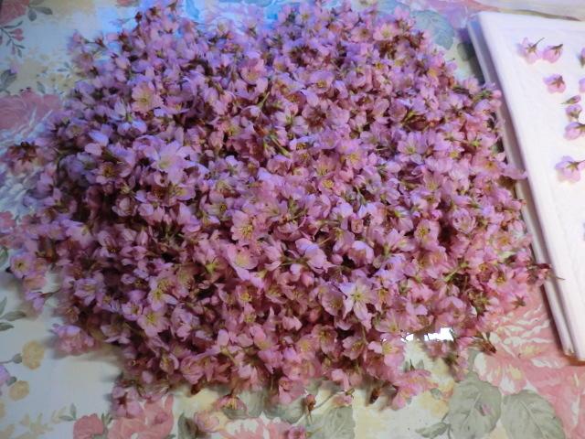 桜がアトリエで満開~~押し花押しが た・い・へ・ん