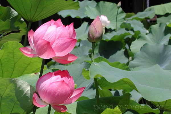 法金剛院の蓮の花