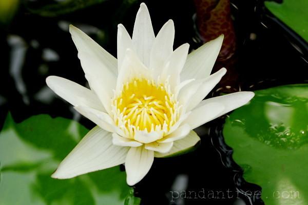 海外の蓮の花1