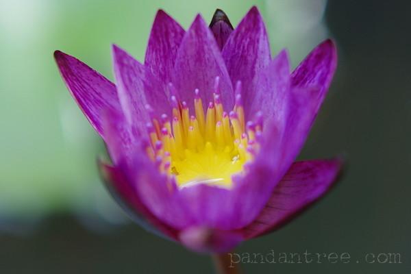 海外の蓮の花2