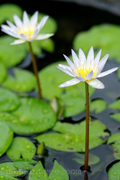 海外の蓮の花3
