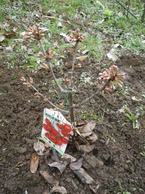 2013年3月2日植樹 桜 暖地-2