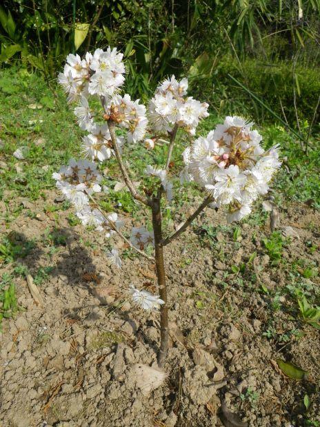 2013年3月2日植樹 桜 暖地-3