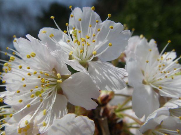 2013年3月2日植樹 桜 暖地-4