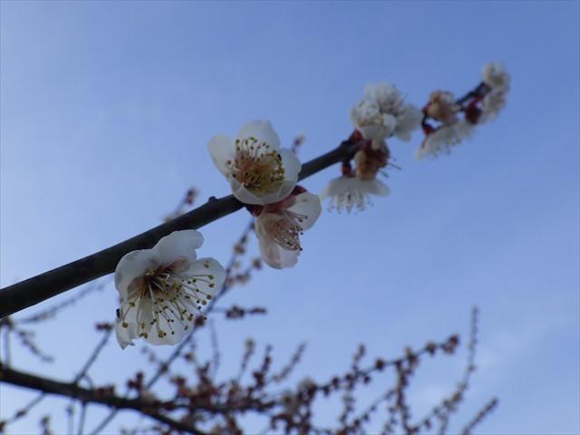ほたるの里公園の向かいの梅