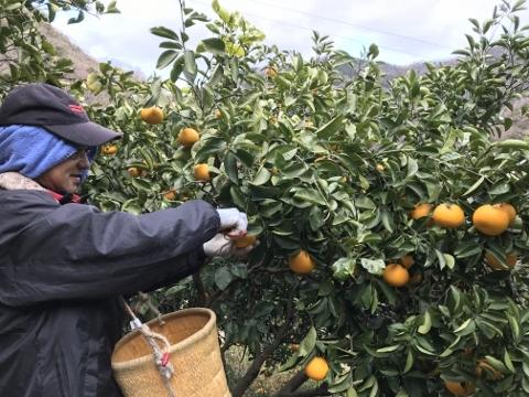 2019年産の八朔 収穫の様子