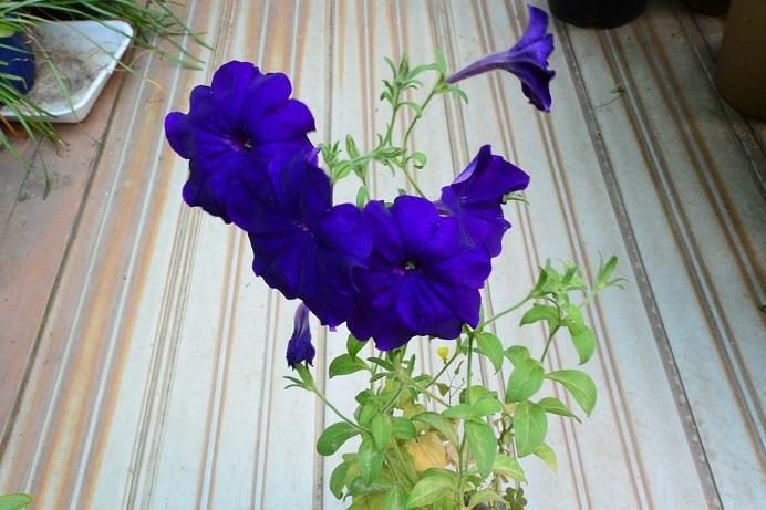 18ペチュニア紫_2372a