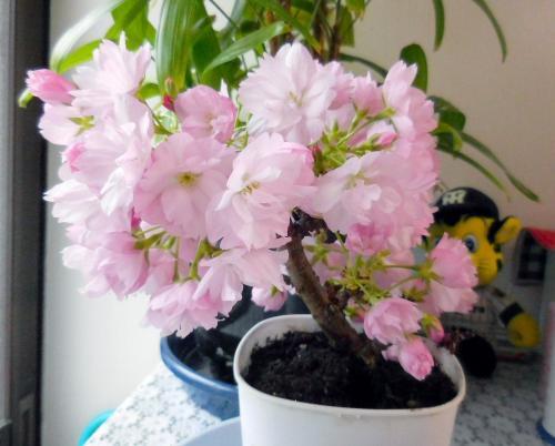 一才桜満開