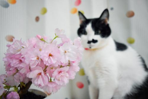 くぅ桜メイン