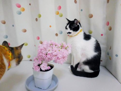 くぅ桜よりみく