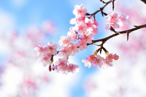 緋寒桜 (1)