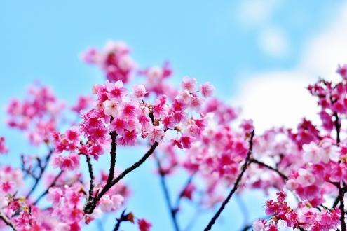 緋寒桜 (2)