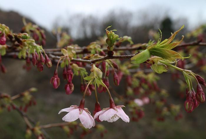もうすぐ一斉に咲きそうな河津桜 31 2 20
