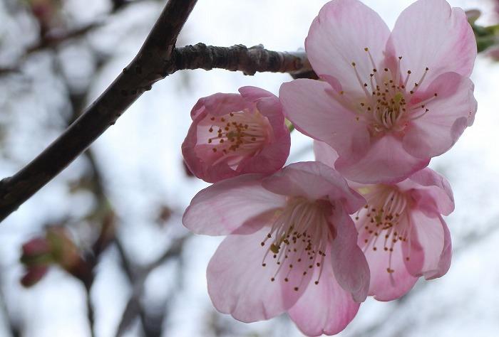 可愛く咲いてる河津桜 31 2 20