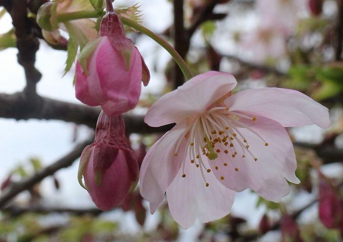 河津桜 花と蕾と 31 2 20