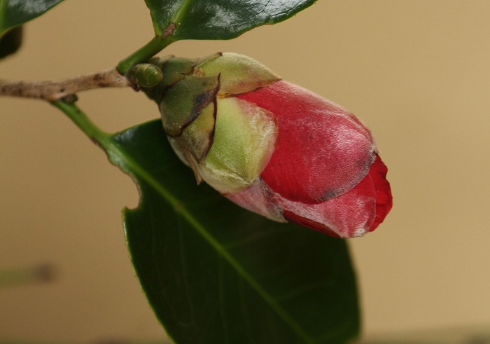 赤い椿つぼみ 31 2 22