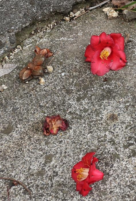 大師堂裏の椿の花・・・落ちて 31 2 21