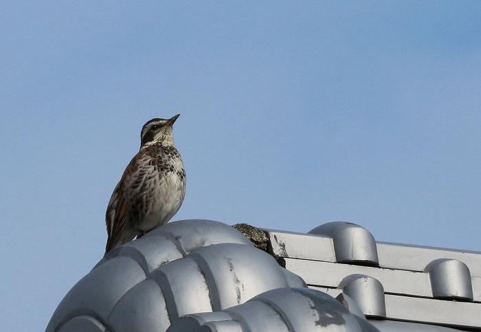 屋根瓦の上の鳥 31 2 23