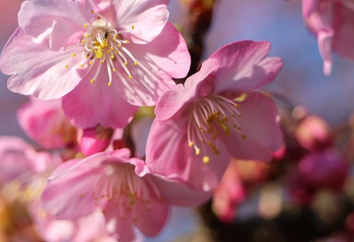 河津桜の花 31 2 23