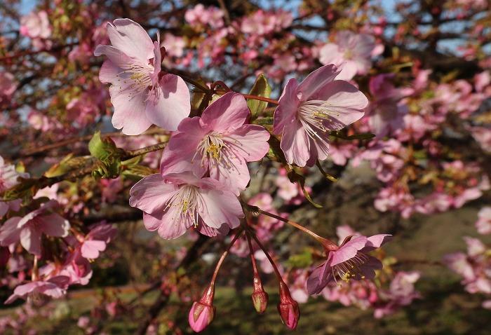 河津桜咲き始めて 31 2 23