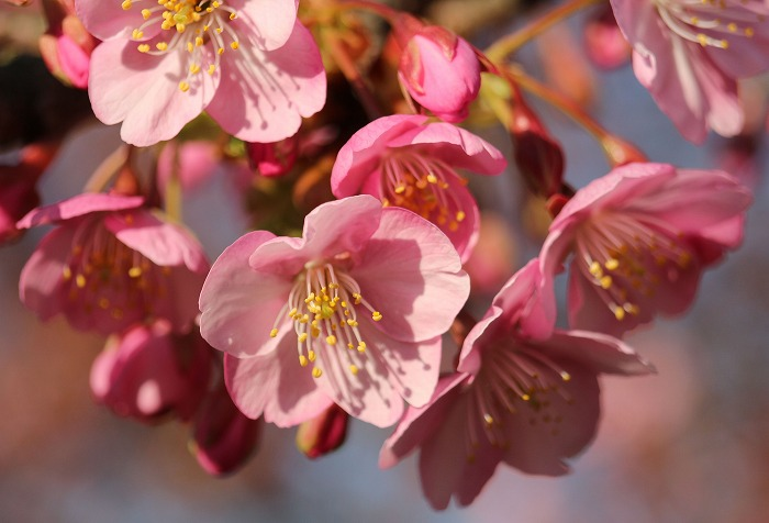桜の花 河津桜 円道 31 2 23