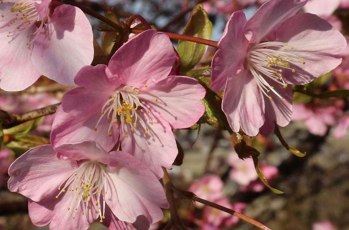 三分咲き河津桜 31 2 23
