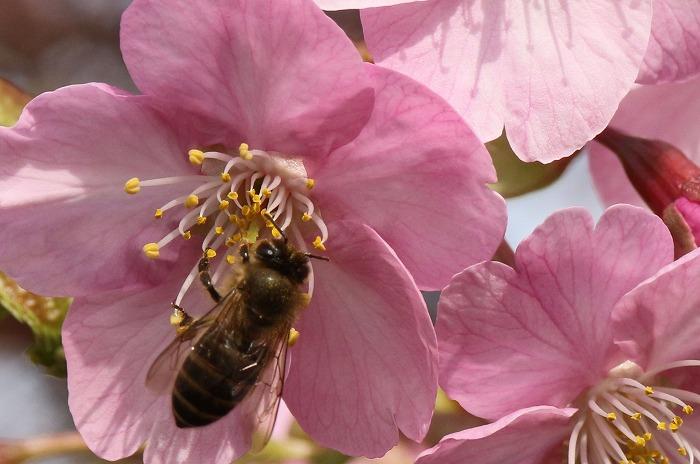 蜜蜂が河津桜にやってきた 31 2 24
