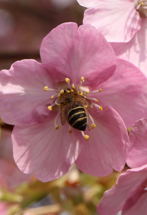 花の中に潜り込んだ蜜蜂 31 2 24