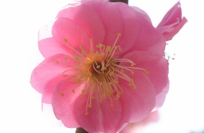 垂れ梅の紅梅の花だけ 31 2 25