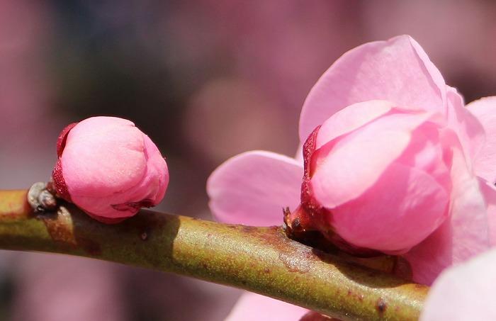 垂れ梅のつぼみ 31 2 25
