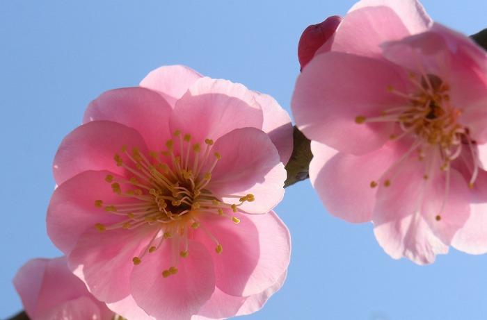 やさしい花 枝垂れの紅梅 31 2 25