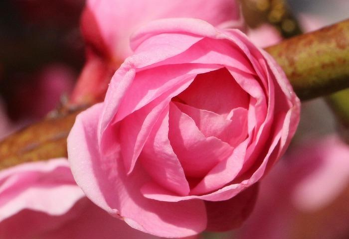 明日は咲きます 紅梅枝垂れ 31 2 25