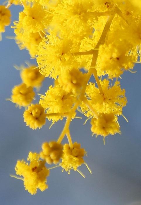 ミモザの花の先 つぼみ 31 2 25