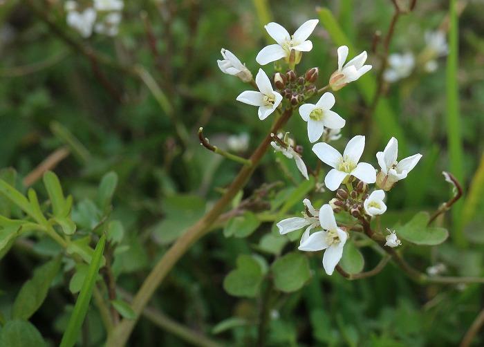 タネツケバナ 種漬花 31 2 25