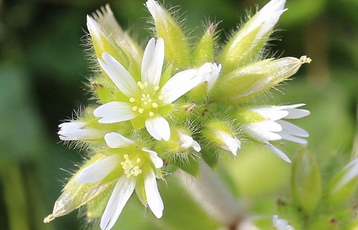 オランダミミナグサ咲いて 31 2 25