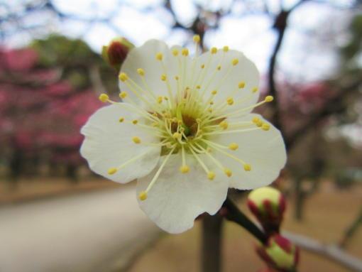 202  梅の花(1)