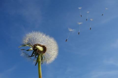 close-up-of-dandelion-in-blue-sky.jpg