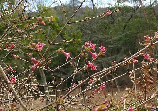 yamauguisukagura03141.jpg