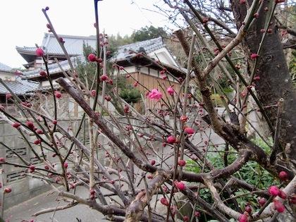 年末に咲いた梅の花