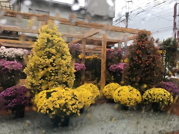 20181106菊