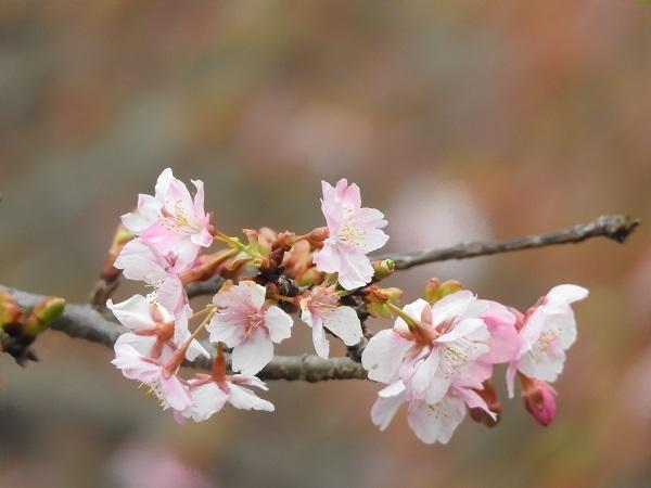 20190215 2016年の河津桜