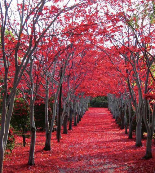 平岡樹芸センター紅葉(モミジ)の絨毯