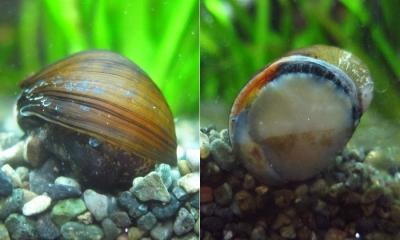 カバクチカノコ貝