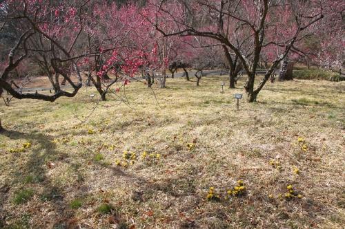 梅の足元に福寿草