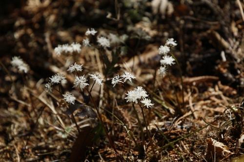 直径1cmほどの花です