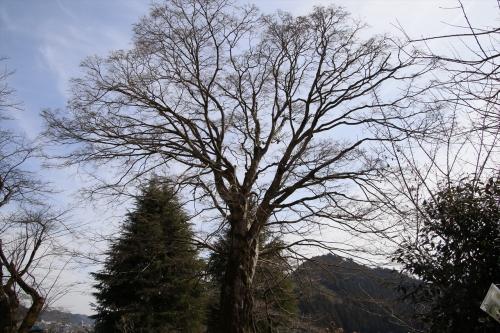 樹齢200年イロハモミジ