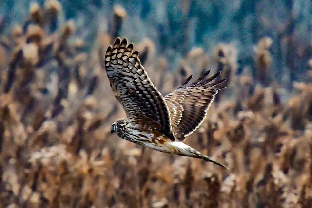 鷹班が綺麗なハイイロチュウヒ 雌