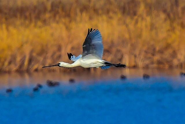クロツラヘラサギ 飛翔