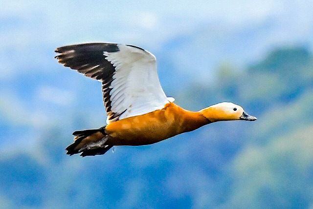 アカツクシガモ飛翔