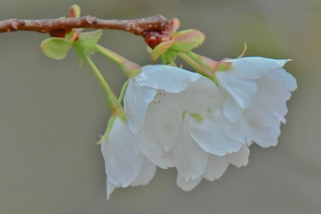 ちょっと早い 桜